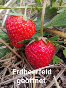 Wurbs Erdbeeren Selbstpflücken